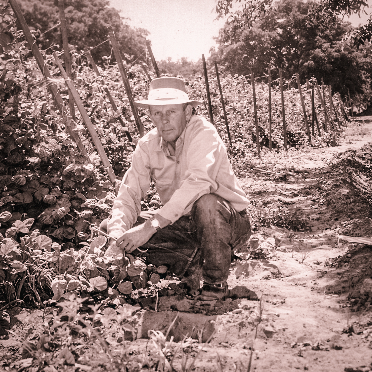 Oliver Talley poses in front of green bean vines at Talley Farms in the late 1940s.