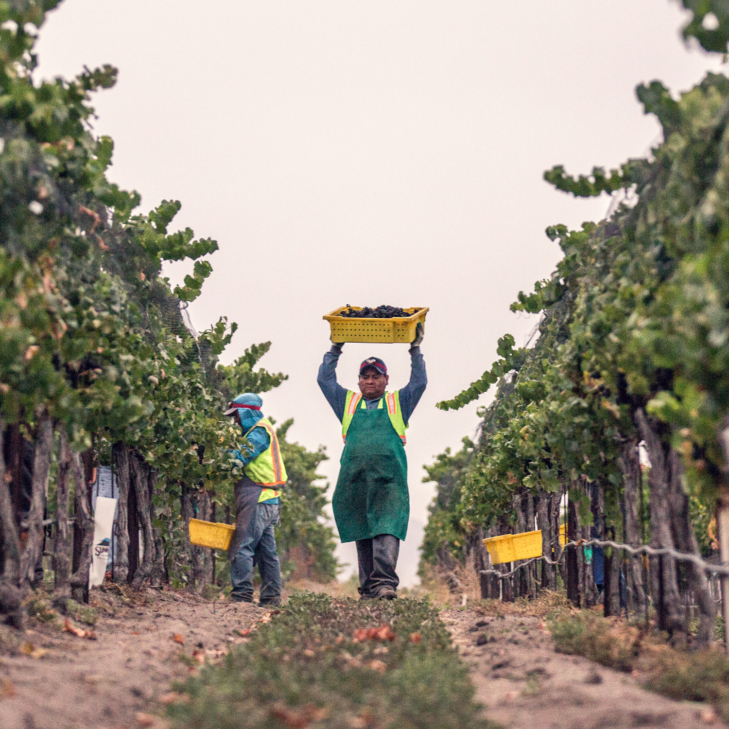 Vineyard worker carries a basket of grapes above his head during the Talley Vineyards harvest.